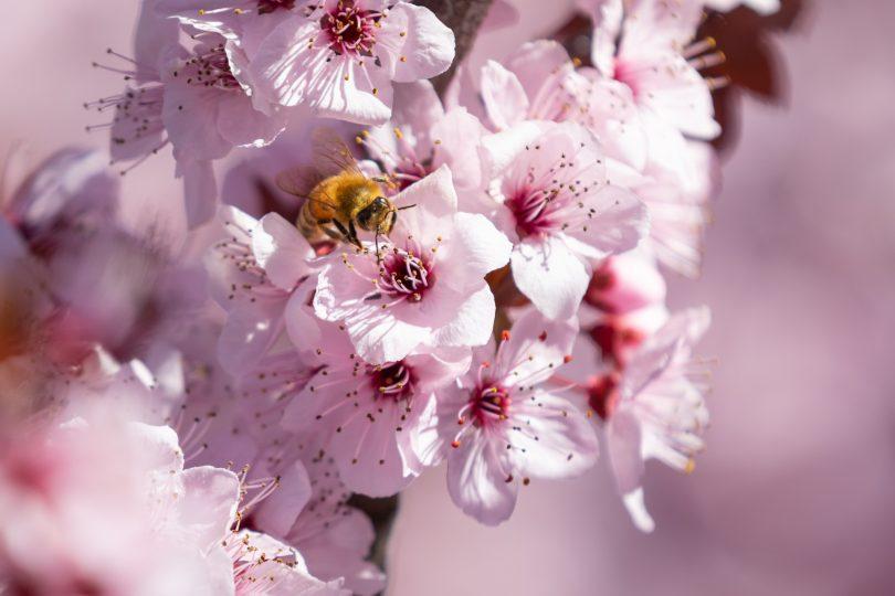 Bee on blossom flower