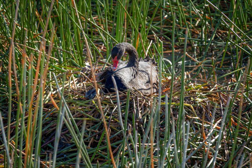 Black Swan sitting on nest
