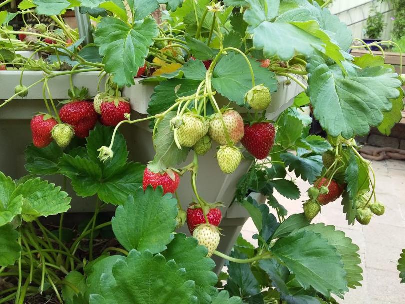 Ripe strawberries growing in pots