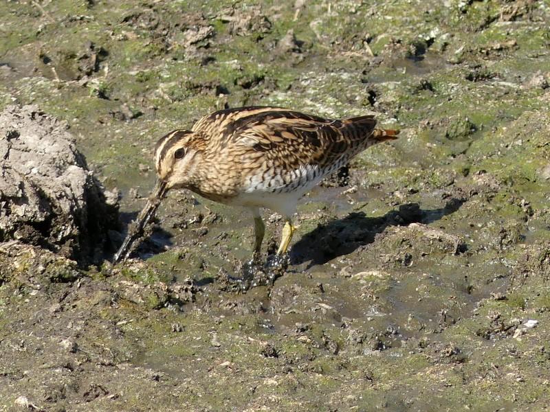 bird on mudflat