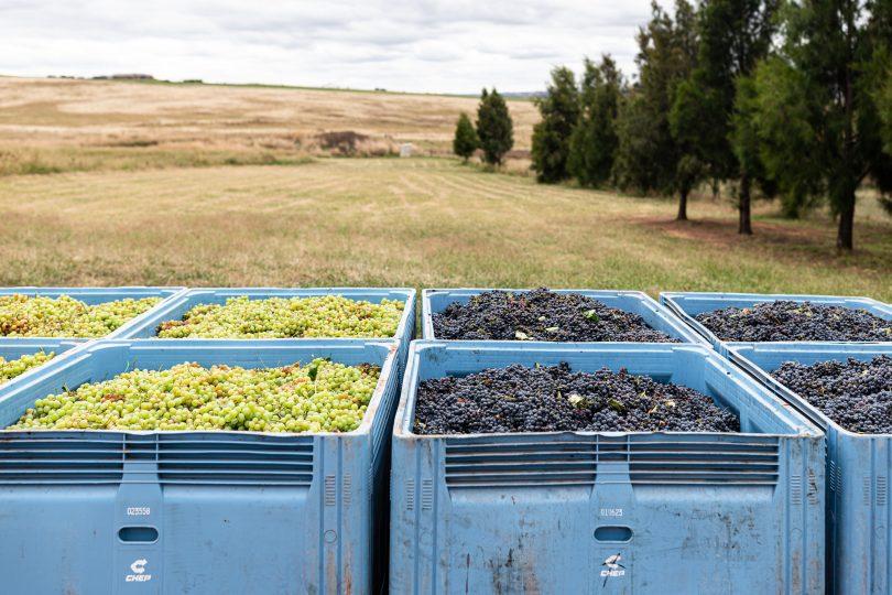 Crates of grapes at Mallaluka Wines