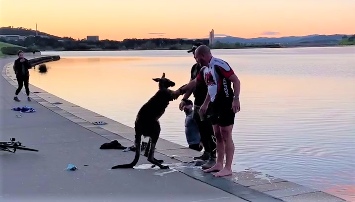 A kangaroo thanks its rescuers at Lake Burley Griffin in Canberra