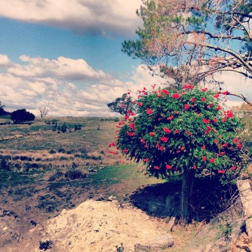 Flowering tree on rural property
