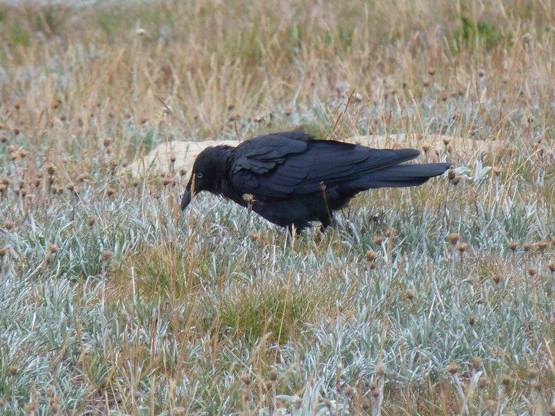 Raven in grassland