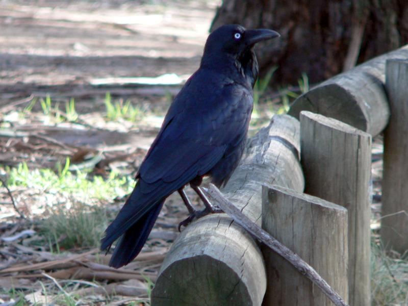 Raven sitting on fence