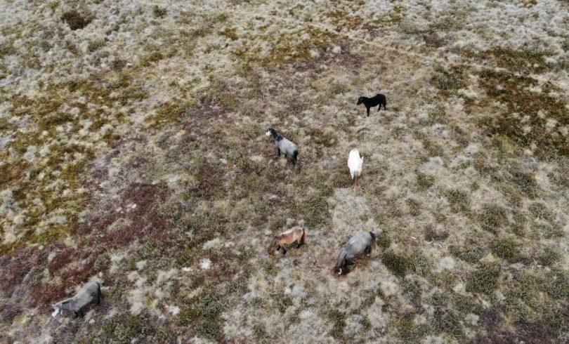 Wild brumbies at Currango Plains in Kosciuszko National Park