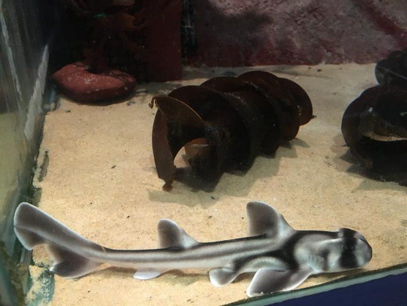 One of seven Port Jackson sharks born at Merimbula Aquarium this year