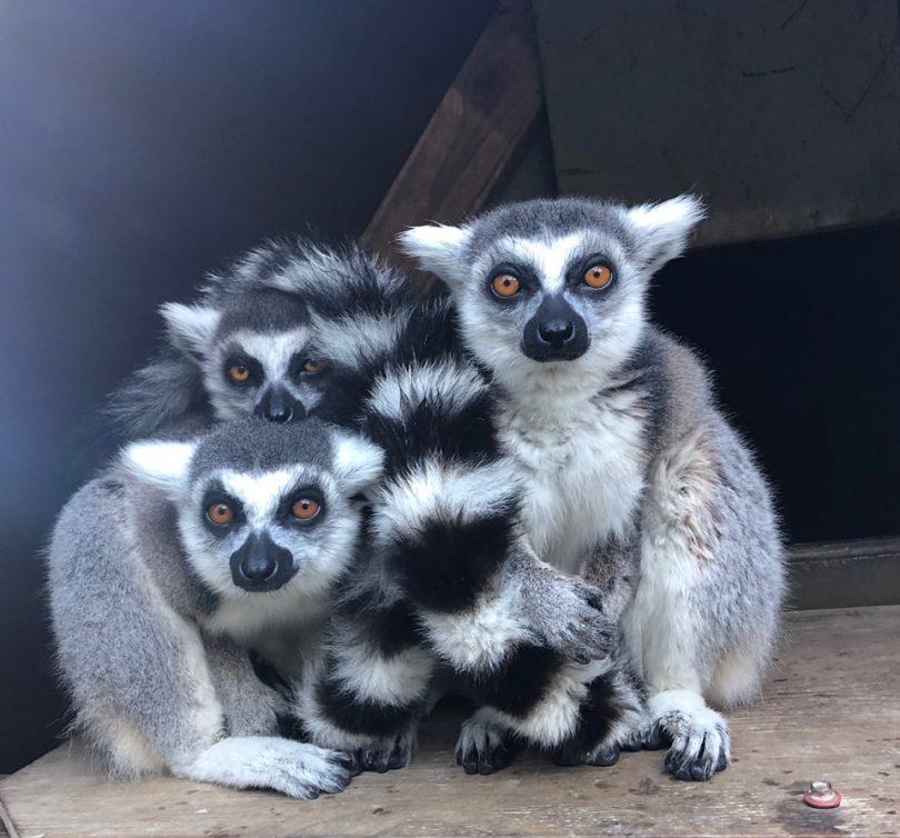 Lemurs at Mogo Wildlife Park