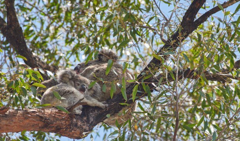 Sighting these koalas