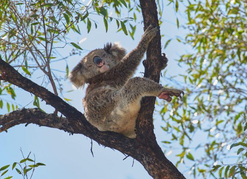 Mother koala's paw