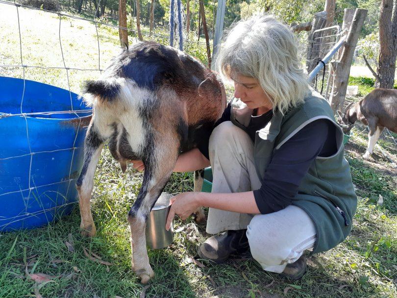 Maike Quellenberg milking a goat.
