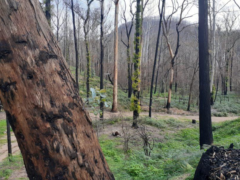 Burnt bushland with regenerating growth.