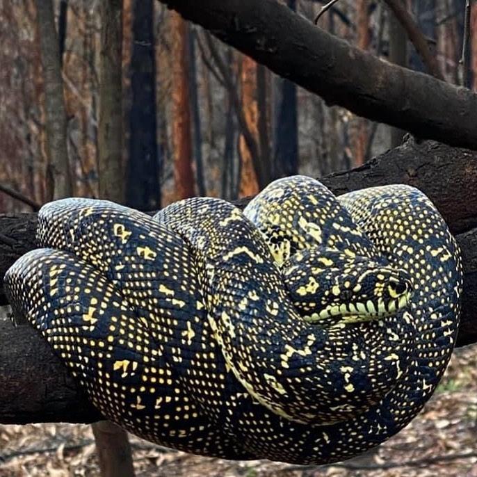 Snake coiled on branch in burnt bushland off Runnyford Road between Batemans Bay and Mogo.