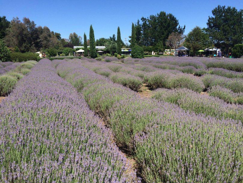 Crystal Brook Gardens and Lavender Farm.