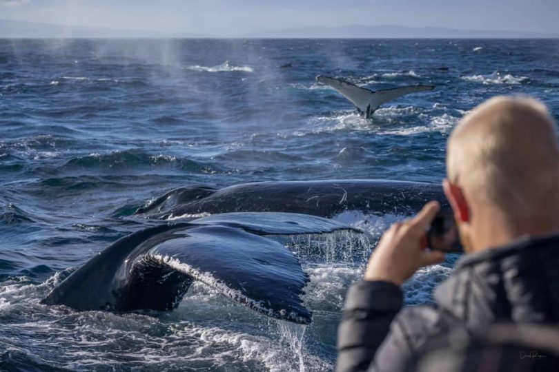 Man photographing pod of humpback whales in sea off NSW South Coast.