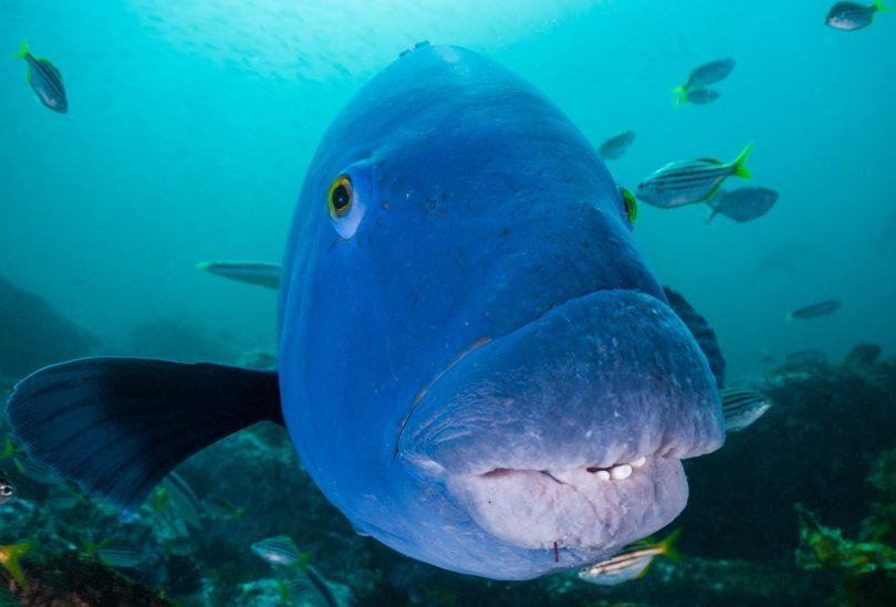 Blue groper fish swimming at Batemans Marine Park.