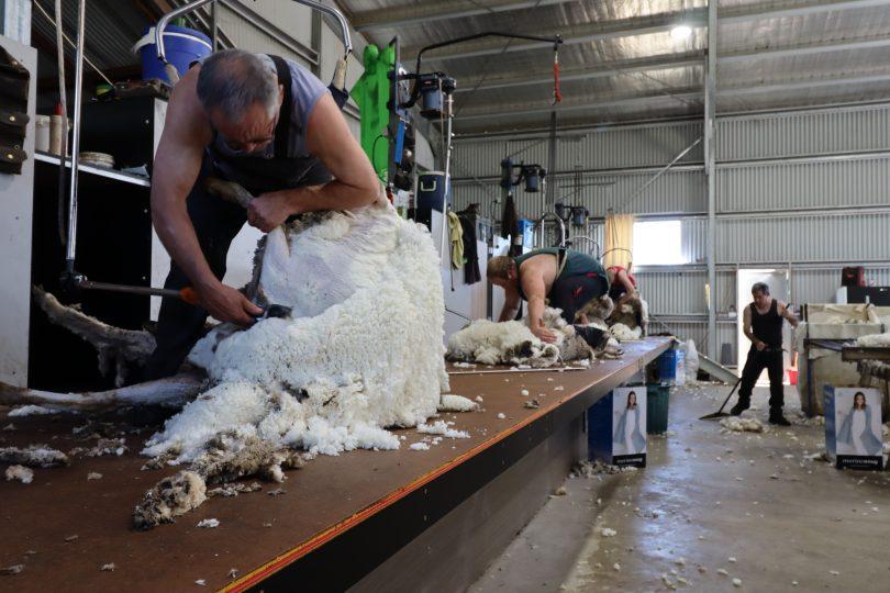 Men shearing sheep.