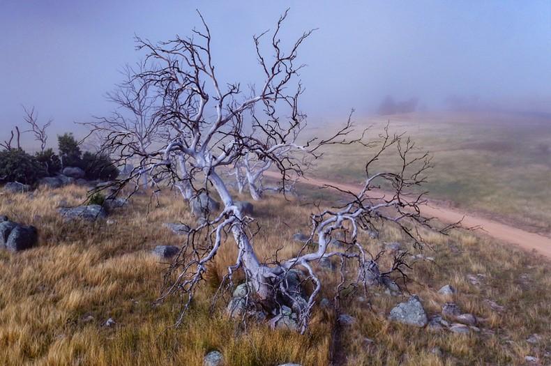 Dying ribbon gum tree.