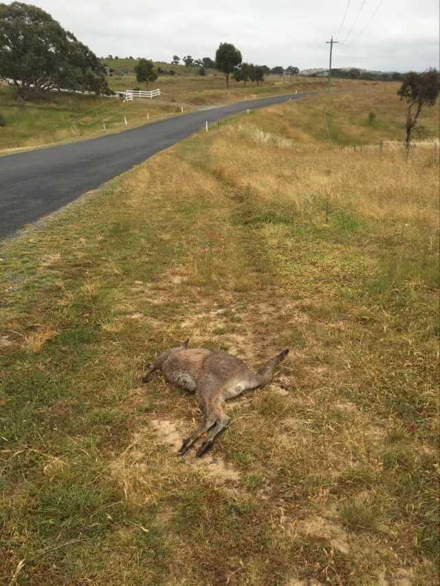 Kangaroo run down at Royalla