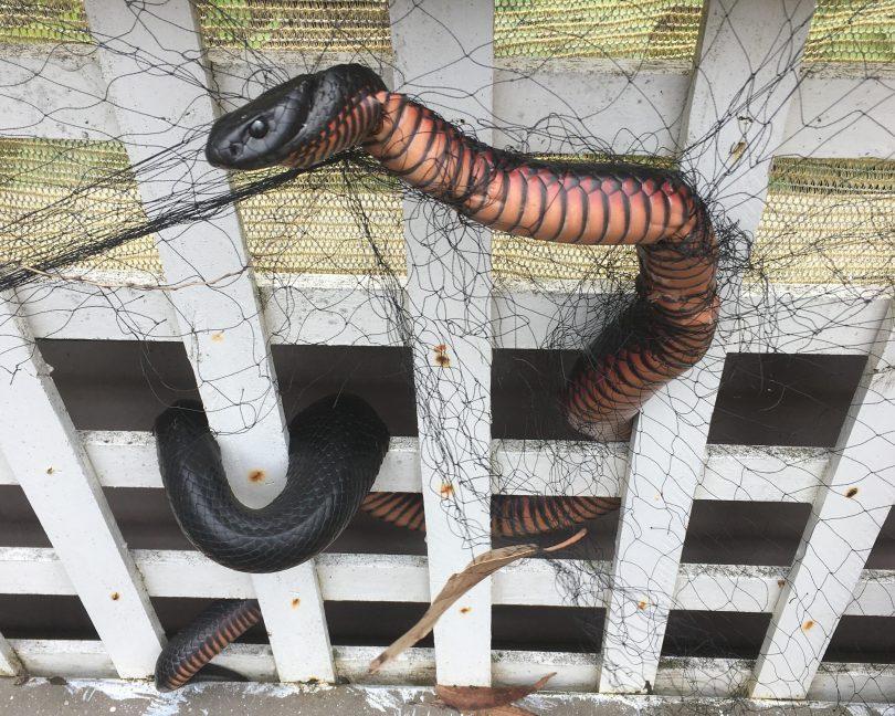 Red-bellied black snake tangled in netting.