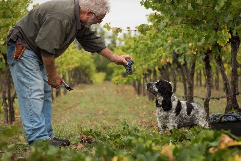Geoff Burton with a cocker spaniel dog in his vineyard.