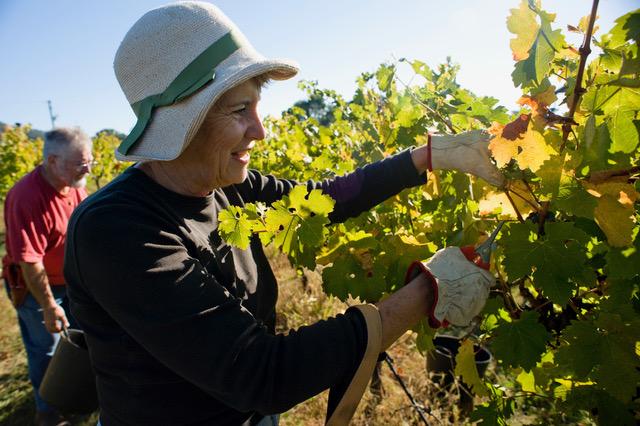Sharon Bell and Geoff Burton handpicking grapes in Gundaroo.