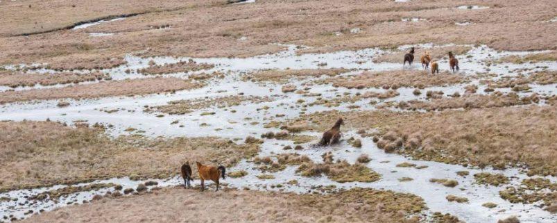 Wild horses grazing in Kosciuszko National Park.