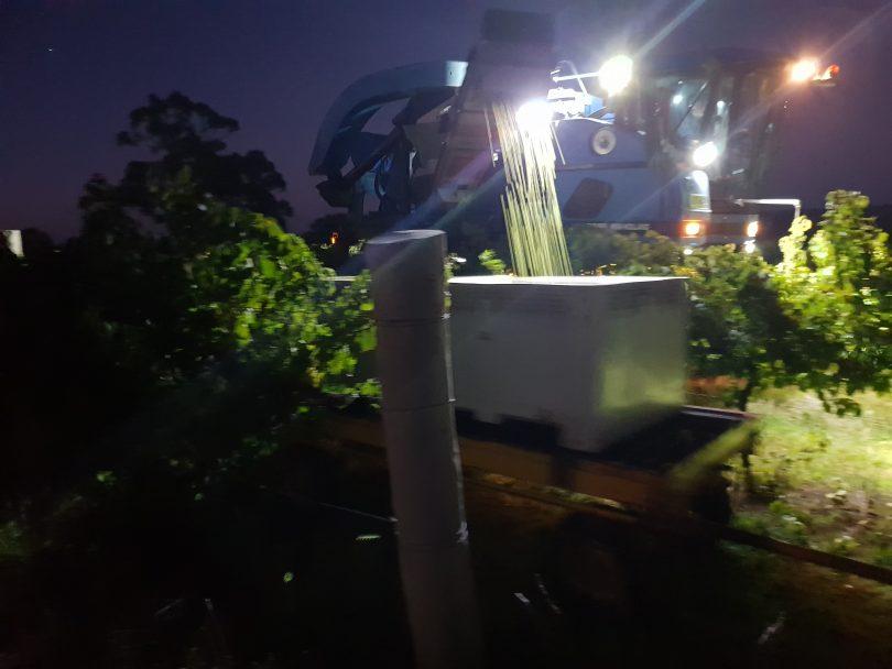 Mechanical harvester picking grapes at night at Freeman Vineyards.