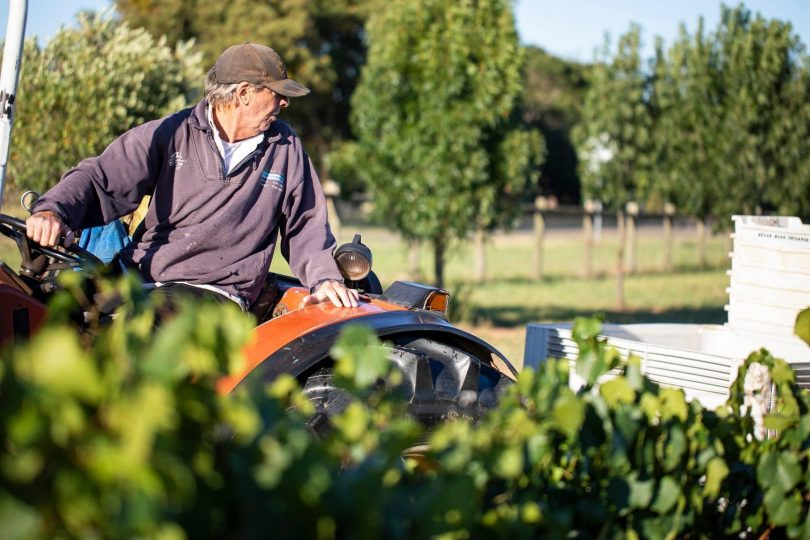 Man on tractor in vineyards at Grove Estate.
