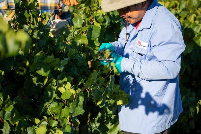 Man handpicking grapes at Grove Estate.