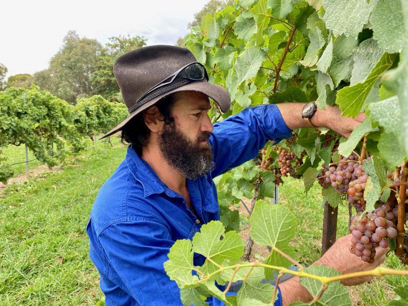 Steph Helm's husband, Ben, picking grapes at Vintner's Daughter.