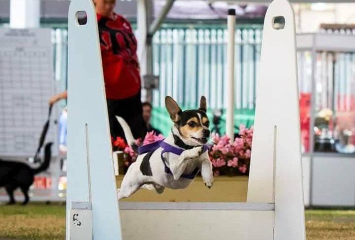 Dog jumping at Goulburn Show.