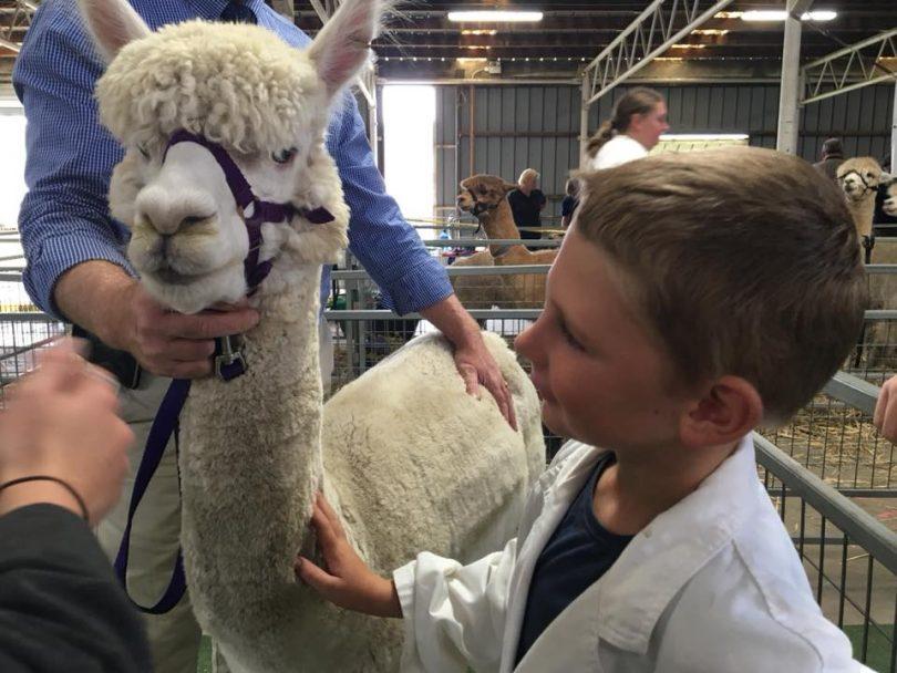 Young boy with alpaca at Goulburn Show.