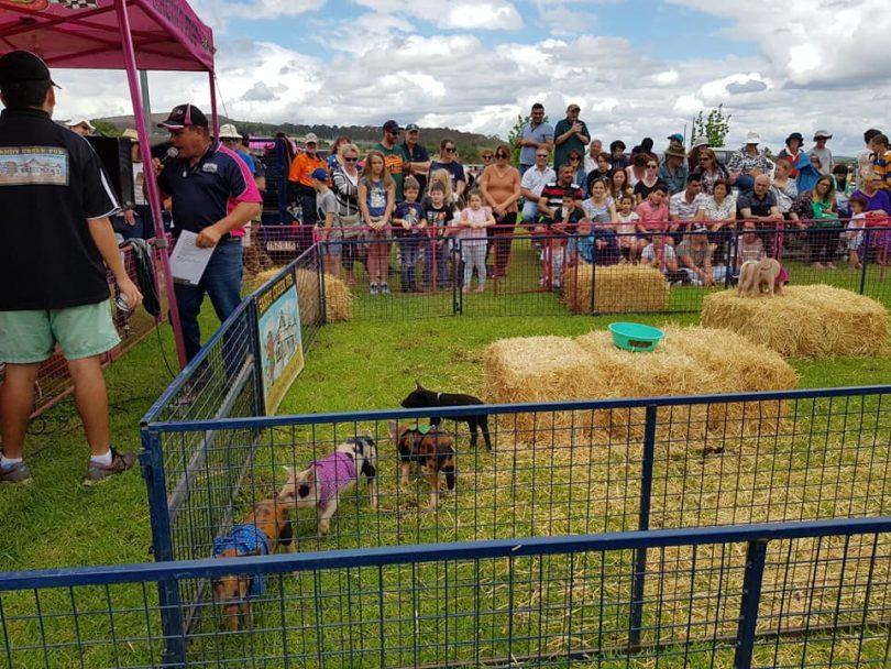 Pig races at Goulburn Show.