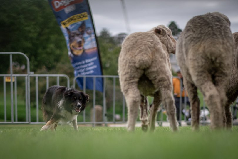 Border Collie Brack in action at National Sheep Dog Trial Championships.