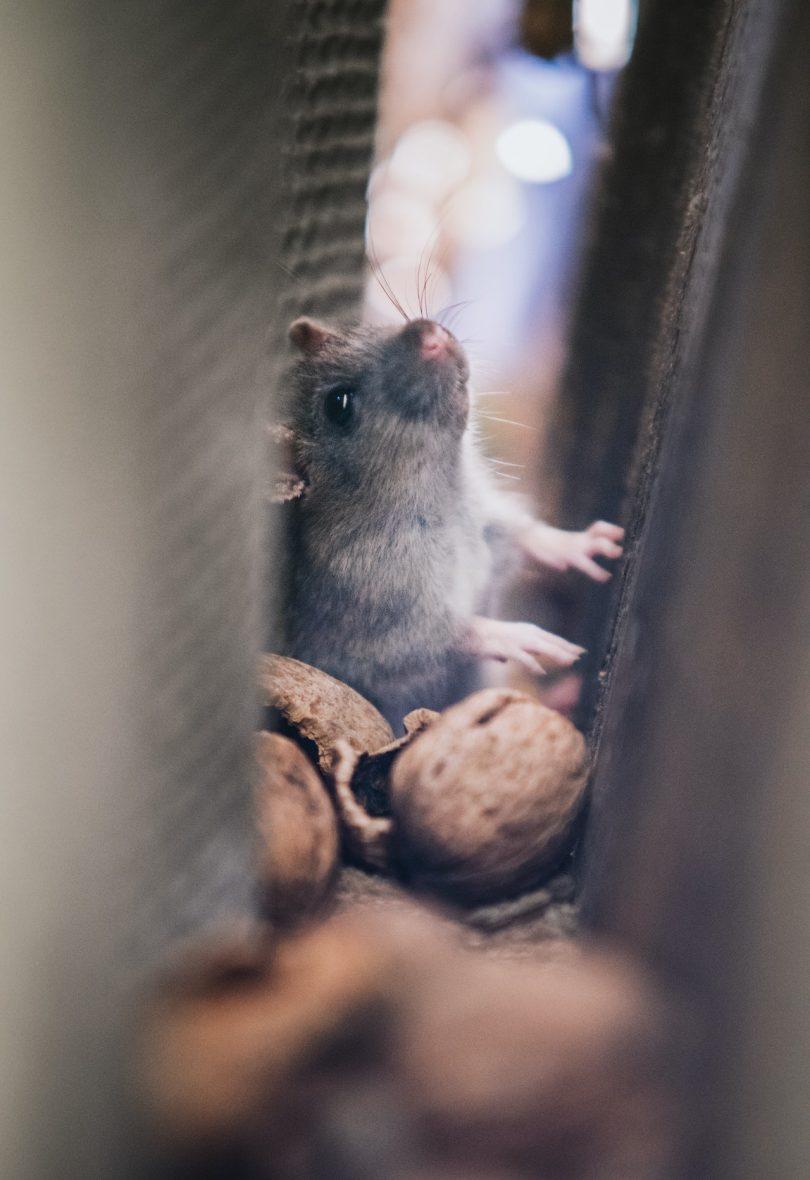 Mice populations