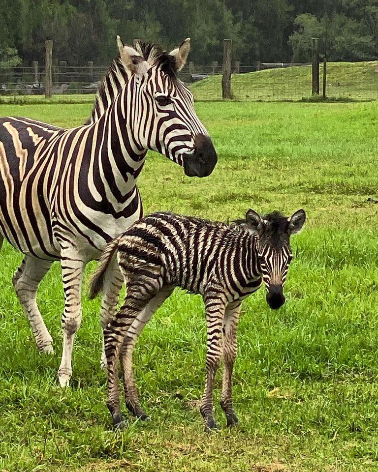 Zebra and foal at Mogo Wildlife Park
