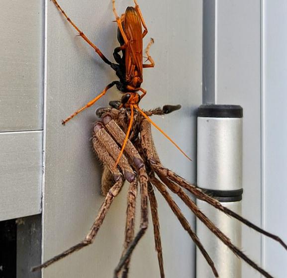 Orange wasp eating huntsman spider