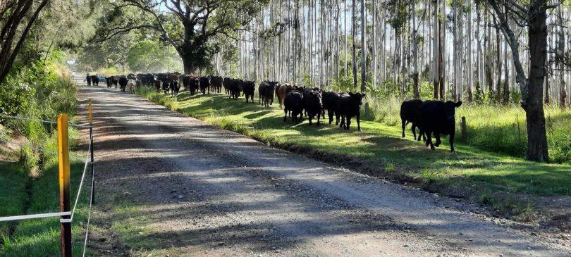 Cows walking alongside dirt road