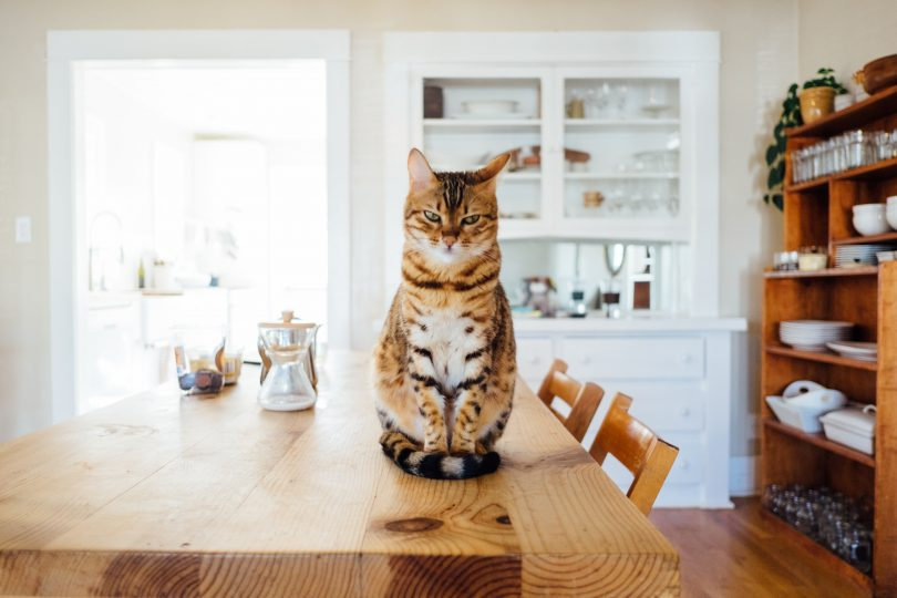 Cat sitting on kitchen table in house