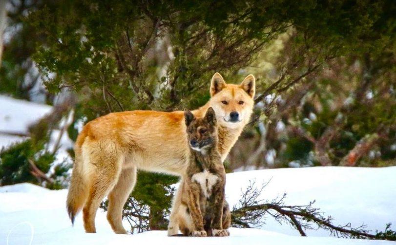Dingo in Kosciuszko National Park