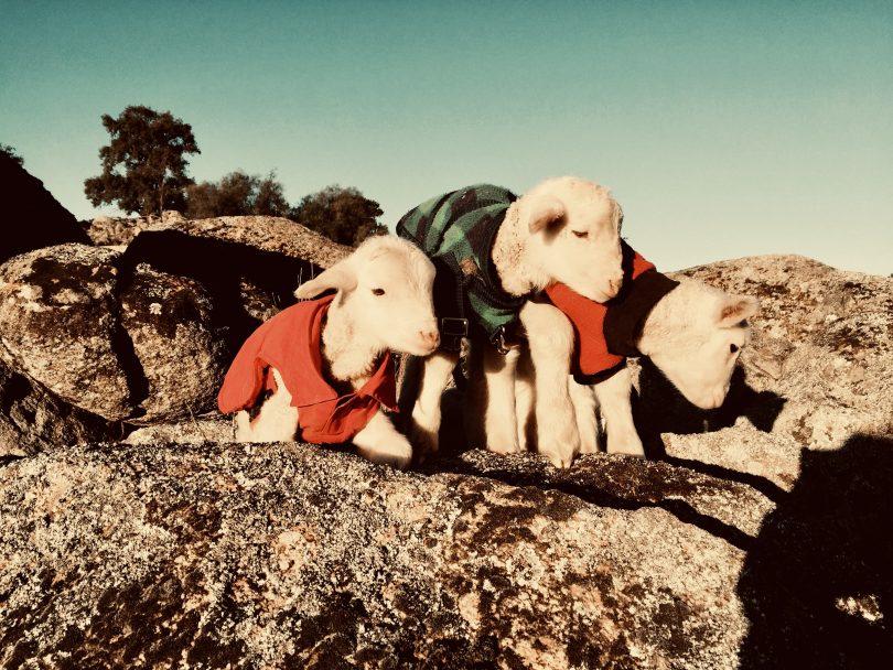 Dog jackets on lambs