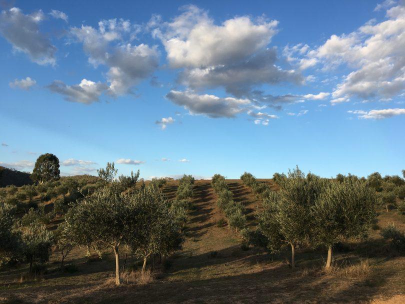 Alto olive trees