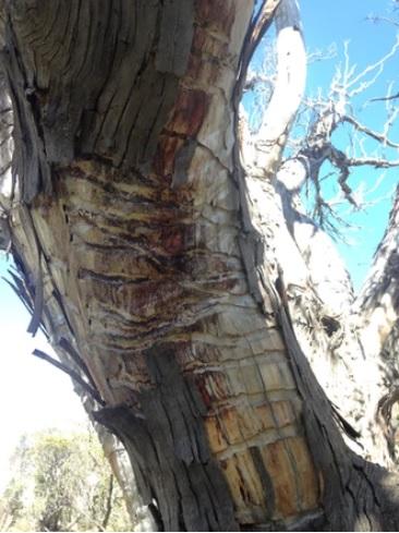Snow gum tree