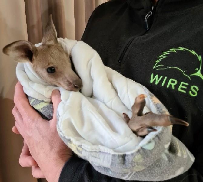 Kangaroo joey Hope